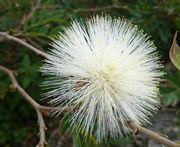ふわふわ真っ白な花