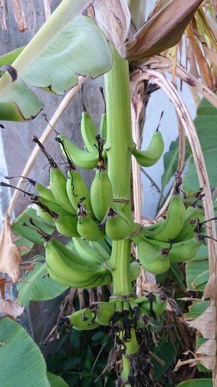 事務所前のバナナ。