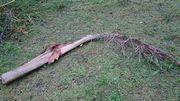 ヤシの木の枯葉は大きいすぎ