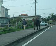闘牛のお散歩です