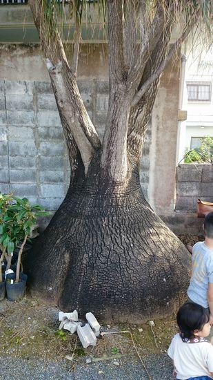 とっても大きい木です