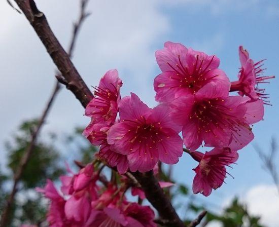 桜が咲いております♪