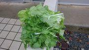 葉野菜が収穫時期の石垣島です。