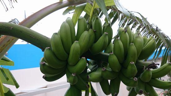 庭のバナナ、そろそろ収穫です。