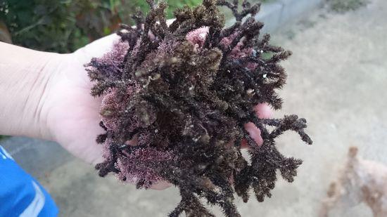 虫下しによい海藻だそうです。