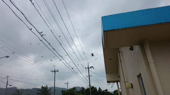 なんだか燕が集まっています。