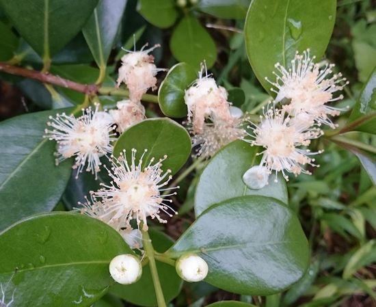 ストロベリーグアバの花