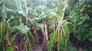 台風被害は、庭のバナナ