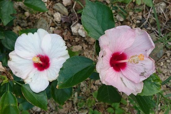 一本の木から二色の花