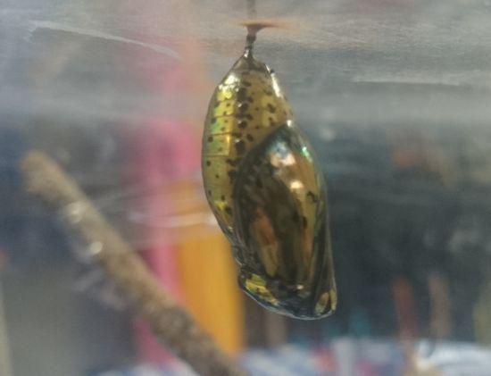 オオゴマダラのサナギ
