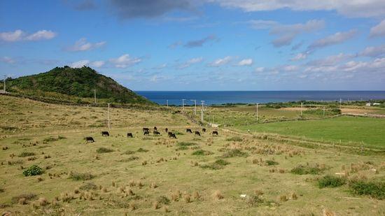 放牧されている牛さん♪島タイムが流れます