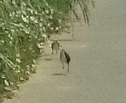 シロハラクイナさんお散歩しています