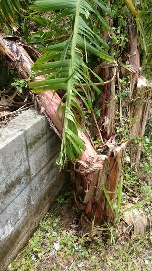 被害は、バナナの木が倒れた!
