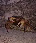 オカガニさん、産卵をしにビーチへ