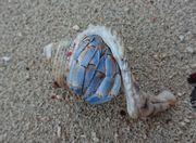 ぼろぼろの貝殻にヤドカリ