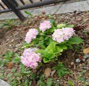 アジサイが咲いています。