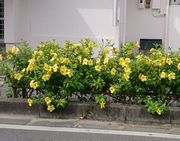 キレイな黄色の花です。