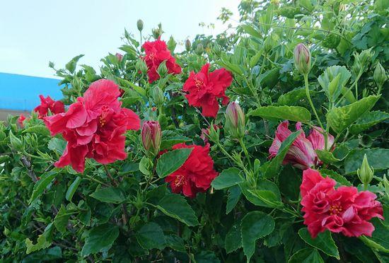 花の密度が高いです。
