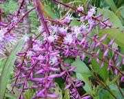 センネンボクの花