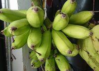 島バナナの収穫です