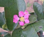 アセロラの花です