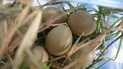 これ、キジの卵だそうです