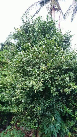 これはシークワーサの木