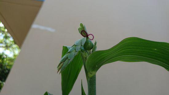 これが数珠玉の花?