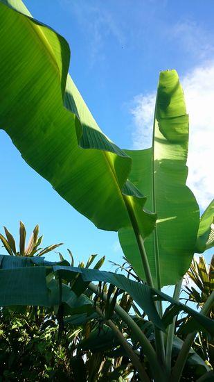 すくすく成長しているバナナですが。。。