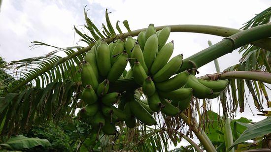 以前からのバナナもすくすくと