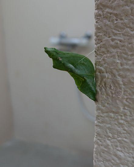 ツマベニチョウの幼虫だそうです。