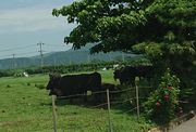 牛さんも木陰です