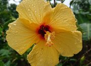鮮やかな黄色のハイビスカス