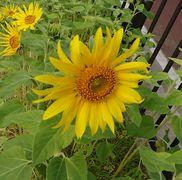 1月の石垣島ですが、ひまわり開花