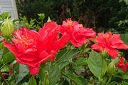 ハイビスカスは切れ目なく開花です
