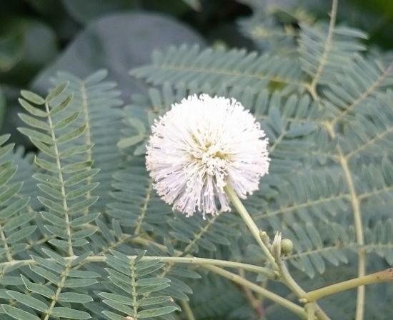 白いふわふわの花を咲かせて。