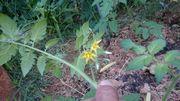 庭のトマト、花がさきました