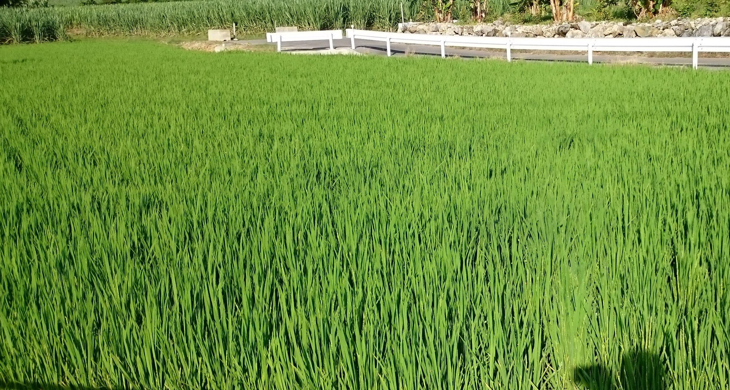 お米。すくすく成長しています
