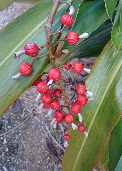 ゲットウの実が赤くなっています。