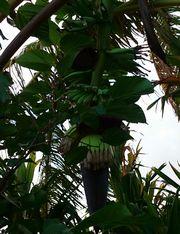 島バナナ、二本目です