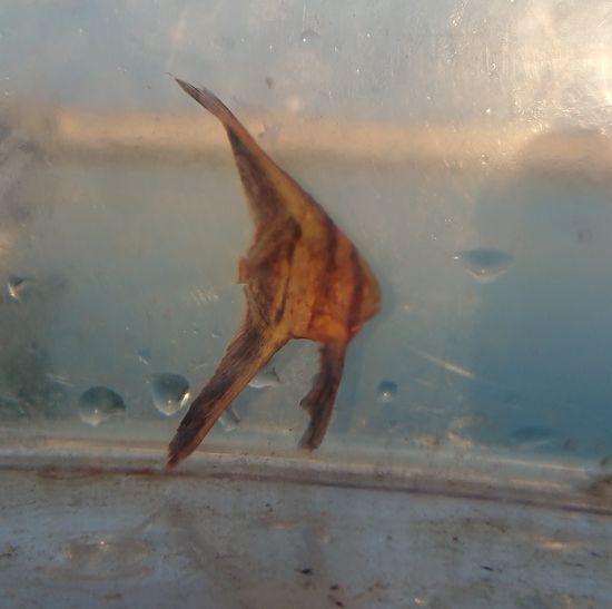 ミカヅキツバメウオの幼魚