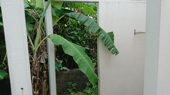 シャワー室の裏のバナナ