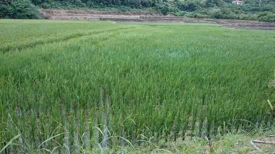 田んぼには、稲がすくすく成長しています。