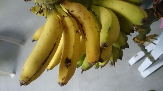 庭のバナナ。やっと食べごろを迎えております。