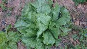 庭のレタス、収穫です。