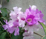 ニンニクカズラ。まだ咲いています。