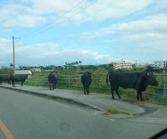 闘牛の牛さん、並んでいます。