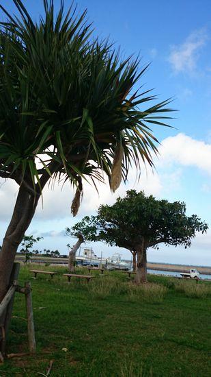 港のアダンの木には。。。