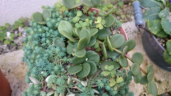 鉢植えしている多肉植物