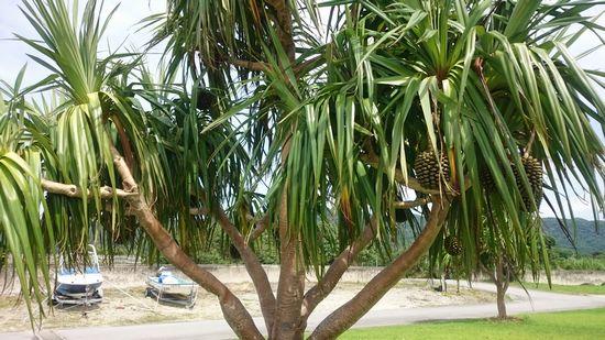 港のアダンの木